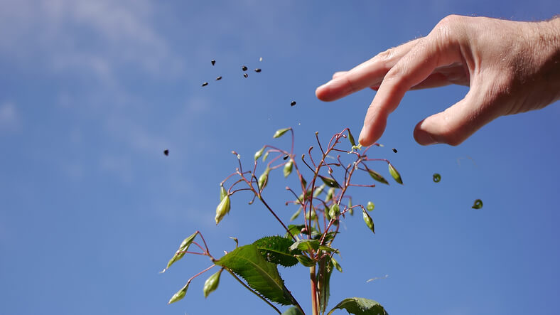 Bekämpfung von Springkraut