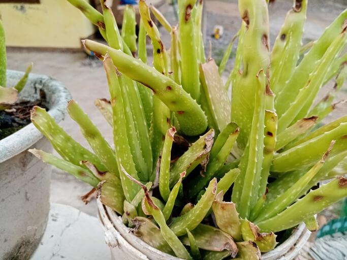 Welche Schädlinge kann die Aloe Vera befallen Und was kann man dagegen tun