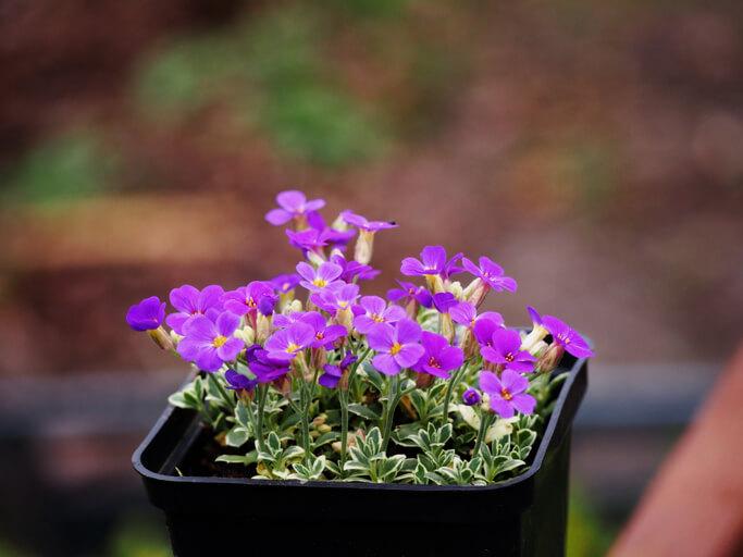 Aussaat im Haus für frühe Blüte