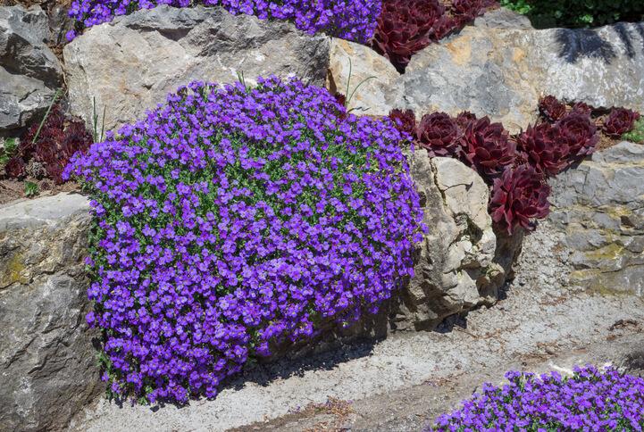 Blaukissen - Direktsaat an Trockenmauern oder im Beet