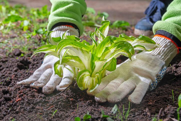 Der richtige Zeitpunkt zum Umpflanzen von Funkien