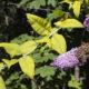 Gelbe Blätter am Sommerflieder