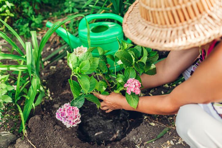 Hortensien umpflanzen – Dos and Don'ts