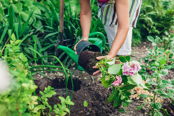 Hortensien umpflanzen - der richtige Zeitpunkt