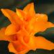 Tassmania Calathea Crocata Pflege