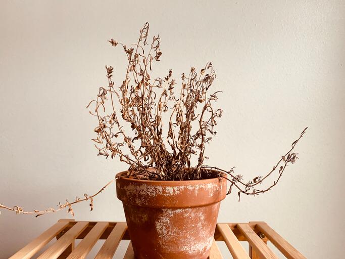 Vertrockneter Lavendel Zu viel oder zu wenig Wasser