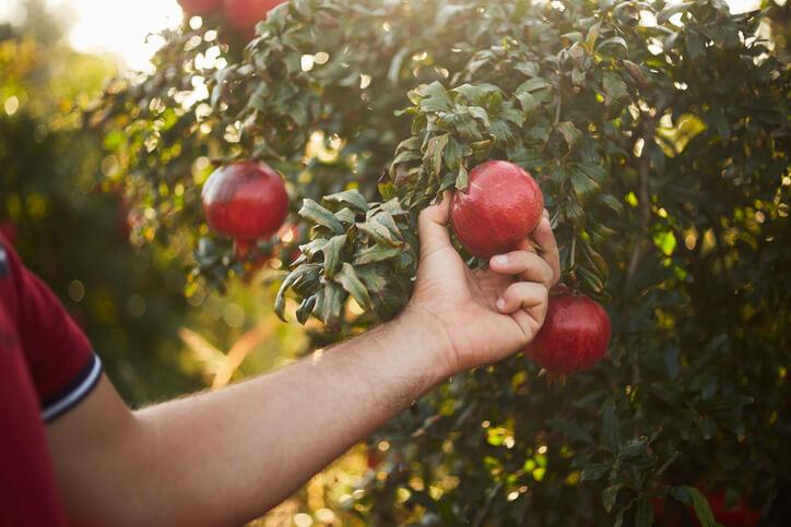 Wann können Granatapfel geerntet werden