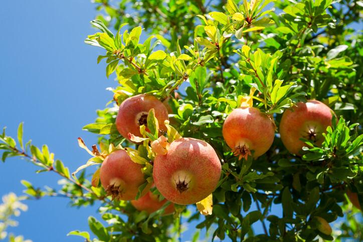 Welcher Standort sollte für die Granatapfel gewählt werden