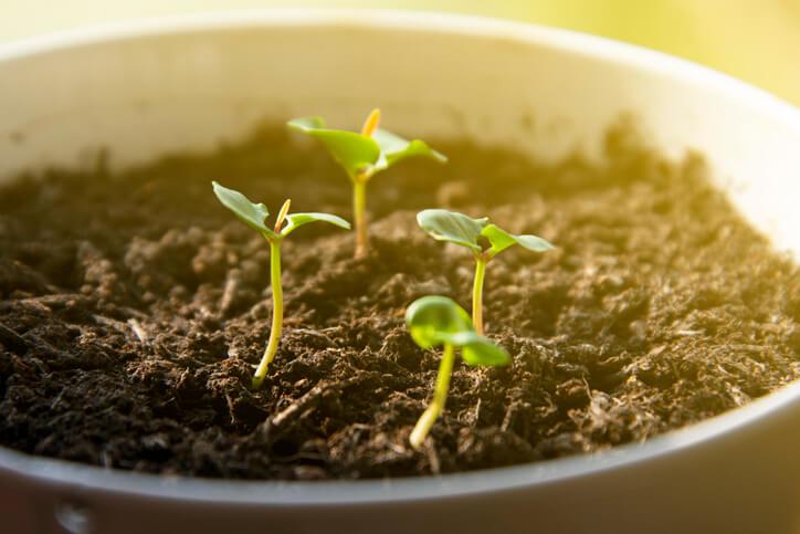 Wie werden Granatapfelbäume angebaut