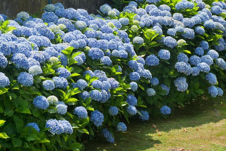 Blaue Hortensien - eine Frage der richtigen Pflege