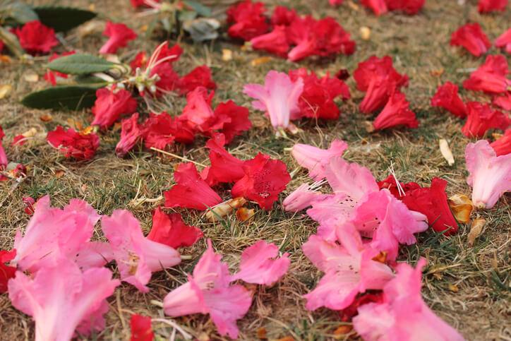 Das Entfernen von verwelkten Blüten