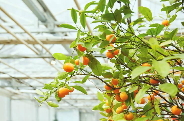 Den Orangenbaum überwintern