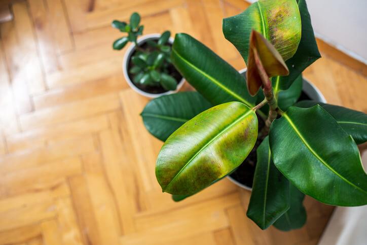 Gelbe Blätter am Gummibaum - die möglichen Ursachen