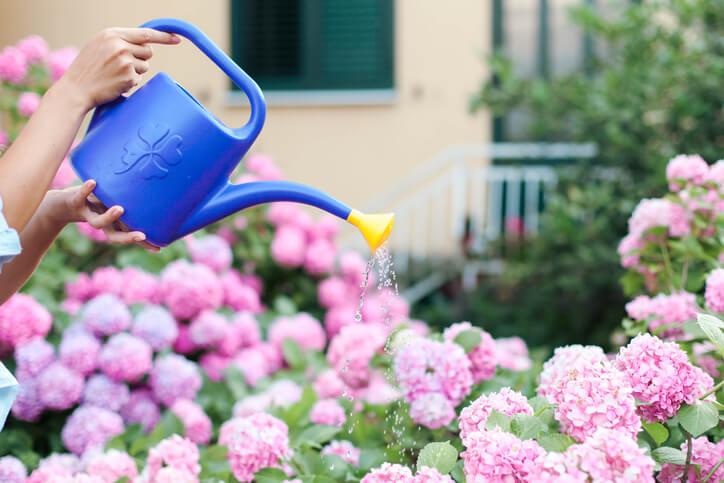 Hortensien richtig wässern