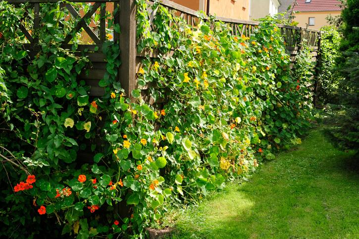 Kapuzinerkresse als Zierpflanze und Sichtschutz