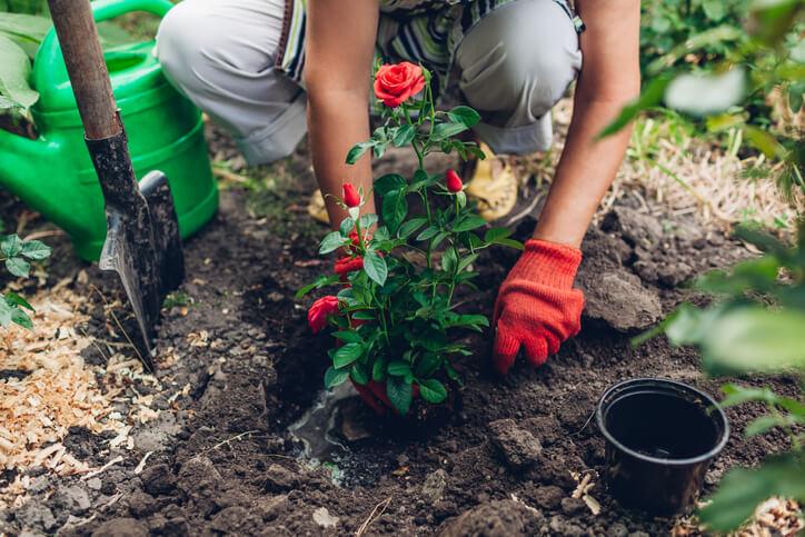 Können Rosen so einfach verpflanzt werden