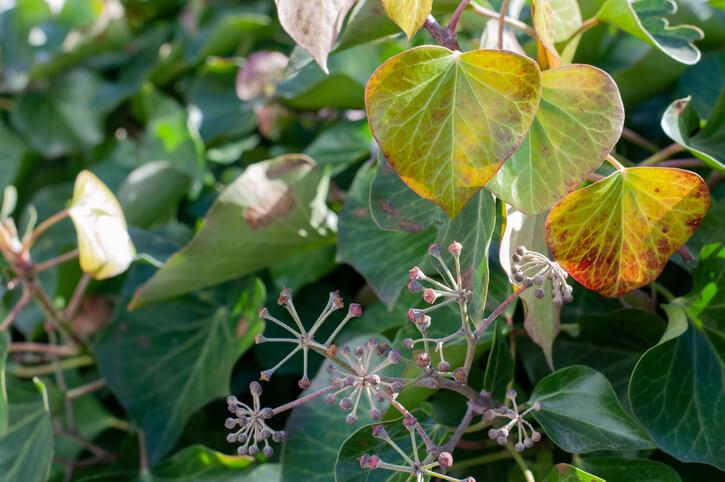 Warum kommt es zu gelben Blättern am Efeu
