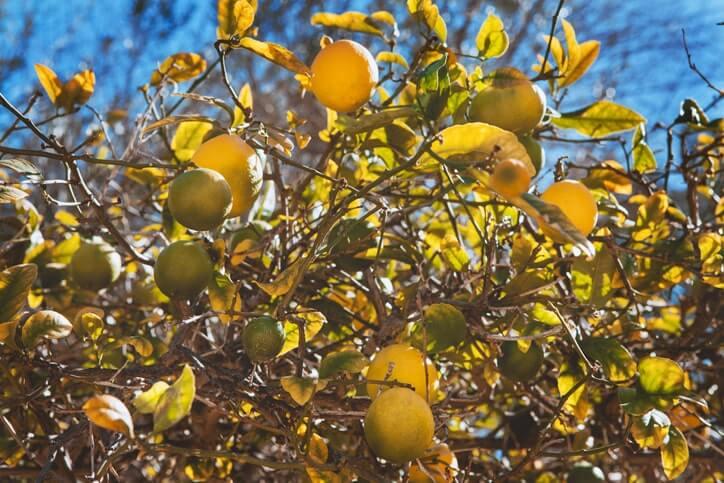 Warum entstehen gelbe Blätter an Zitronenbäumen?