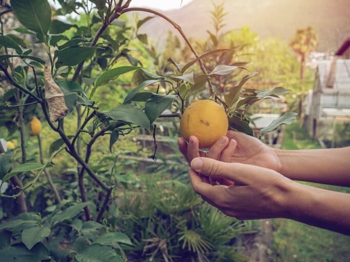 Maßnahmen, um gelbe Blätter am Zitronenbaum zu bekämpfen