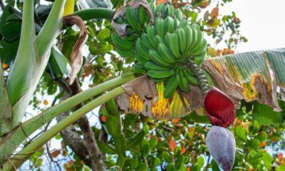 Bananen Zuhause anbauen und züchten