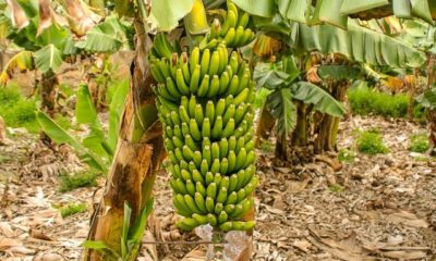 Bananenpflanze überwintern - der richtige Winterschutz