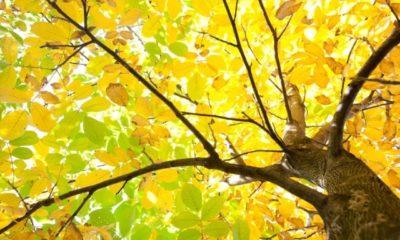 Das Laub des Walnussbaums - Kompostieren oder entsorgen