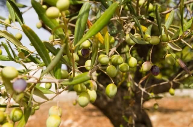 Der beste Boden die beste Erde für den Olivenbaum
