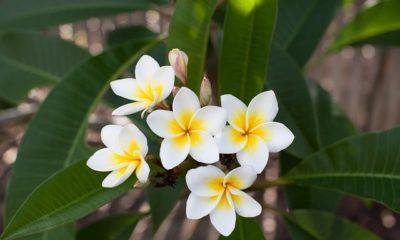 Die Blüte des Frangipani (Plumeria)
