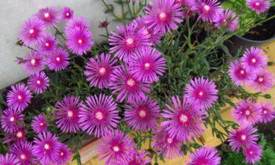 Die Blütezeit der Mittagsblume