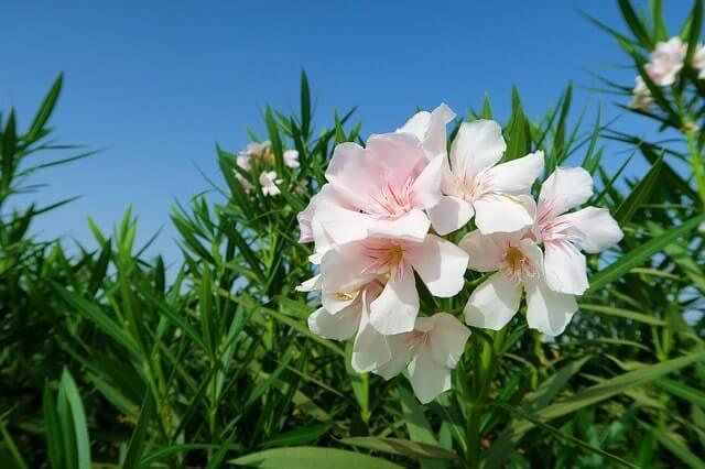 Die Blütezeit des Oleander