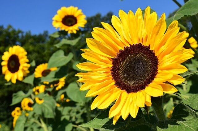 Die wirkliche Blütezeit der Sonnenblume