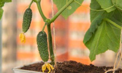 Gurken auf dem Balkon ziehen