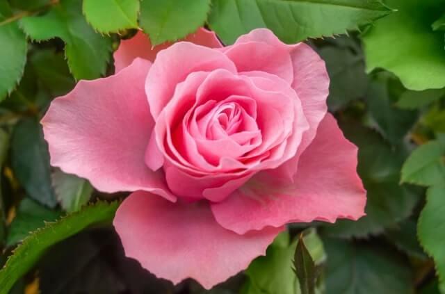 Rosen ohne Stacheln