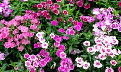 Sind Gartennelken mehrjährige Pflanzen