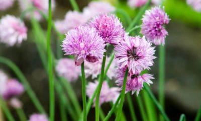 Sind Schnittlauchblüten essbar oder giftig