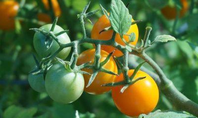 Tomaten ausdünnen - ja oder nein