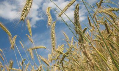Wann wird Getreide geerntet