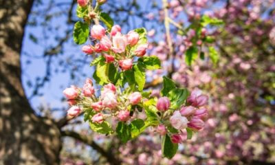Welcher Obstbaum hat rosa Blüten
