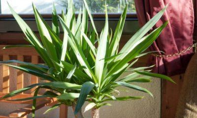 Yucca-Palme mit weißem Belag - Was tun