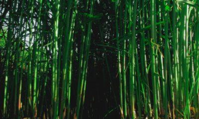 Bambus entfernen