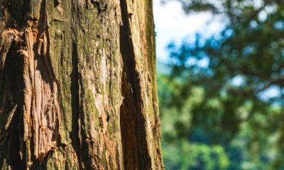Baumrinde aufgeplatzt - was tun