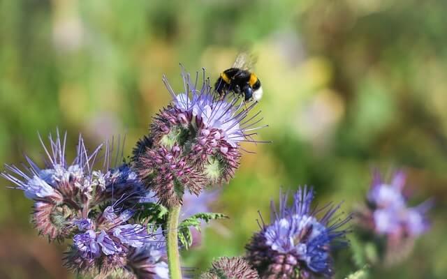 Bienenfreund, Phacelia Pflege