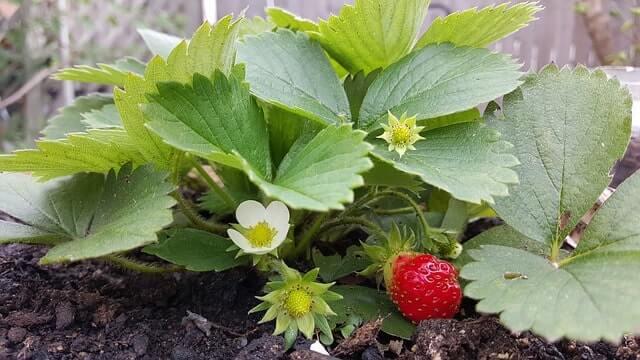 Erdbeeren vermehren - Tipps für Beet- und Kübelpflanzen