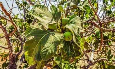 Feigenbaum vermehren