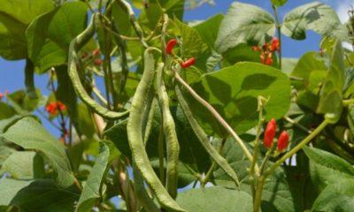 Feuerbohnen ernten