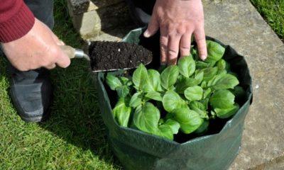 Kartoffeln im Pflanzsack anbauen
