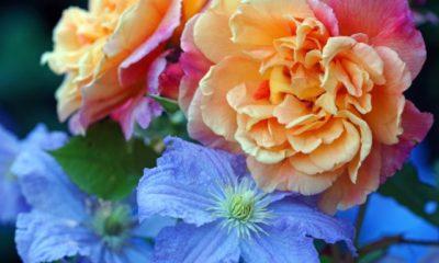 Kombinationen und Begleitpflanzen für Rosen