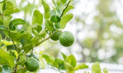 Limettenbaum Pflege