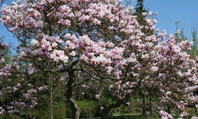 Magnolien richtig schneiden