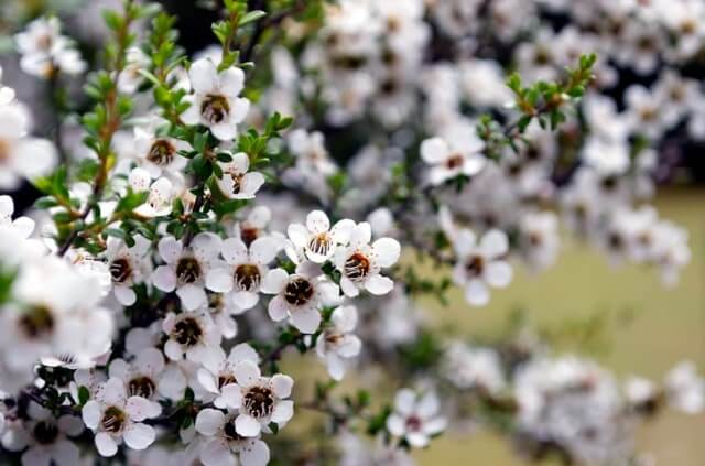 Manuka Pflanze Anbau und Pflege